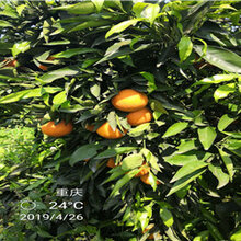 贵州长叶香橙苗销售批发电话图片