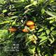湖北长叶香橙枝条价格图