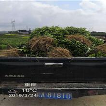贵州银丰园艺长叶香橙基地批发香橙种苗种植图片