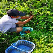 長葉香橙種植基地種苗種植香橙圖片