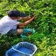 福建銀豐園藝長葉香橙品種齊全種苗種植產品圖
