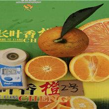 重庆长叶香橙种苗销售_长叶香橙种苗销售电话