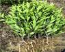 重慶長葉香橙基地批發種苗種植