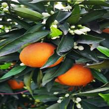 长叶香橙枝条供应图片