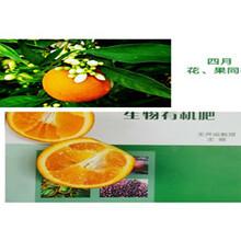 江西銀豐園藝長葉香橙種植價格種苗種植圖片