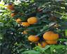 廣東長葉香橙種植價格種苗種植