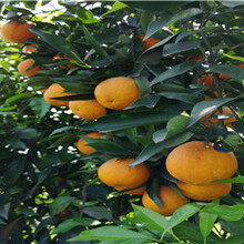 湖南長葉香橙香橙種苗種植圖片