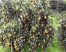 紹興長葉香橙種植基地