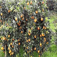江苏银丰园艺长叶香橙种植香橙图片