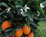 長葉香橙正宗果苗