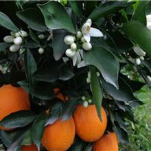 重庆长叶香橙种植技术香橙种苗种植图片