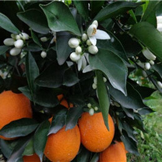 長葉香橙圖