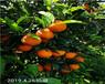 海南長葉香橙種苗批發種苗種植