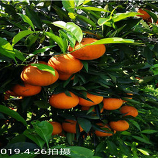 长叶香橙图
