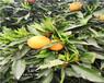 海南银丰园艺长叶香橙种苗批发种苗种植香橙