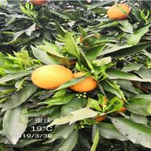 海南银丰园艺长叶香橙种植香橙种苗种植图片