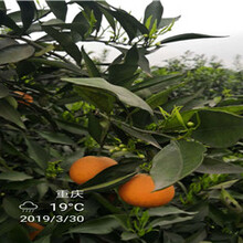 银丰园艺香橙重庆银丰园艺长叶香橙基地批发图片