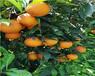 廣東銀豐園藝長葉香橙種植技術香橙種苗種植
