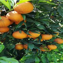 福建长叶香橙种苗供应-福建长叶香橙种苗报价图片