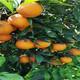 臺州長葉香橙果苗種植圖