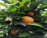 广西长叶香橙种苗售价-广西长叶香橙种苗供应