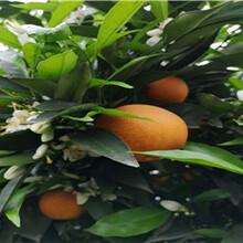 广西长叶香橙种苗批发种苗种植图片