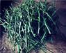 江蘇長葉香橙種苗價格種苗種植