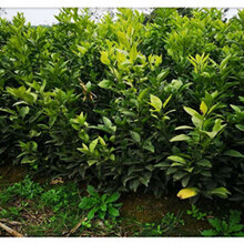 银丰园艺香橙,江津银丰园艺长叶香橙种植价格图片