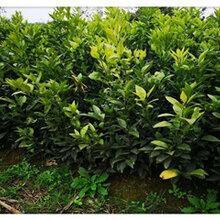 江西長葉香橙種苗香橙種苗種植圖片