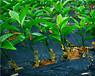 广东长叶香橙芽穗报价香橙种苗种植