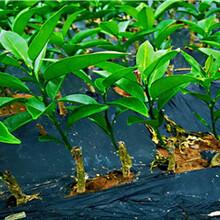 江苏长叶香橙批发种苗种植图片