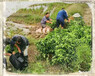 江津銀豐園藝長葉香橙種苗價格種苗種植