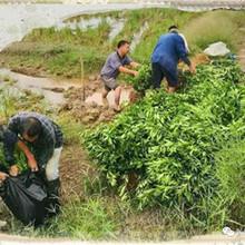 江西長葉香橙哪家便宜種苗種植圖片