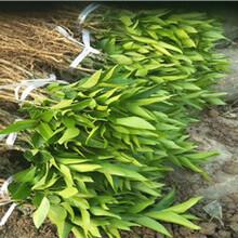 江津长叶香橙苗种苗种植图片