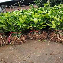 海南长叶香橙批发价格种苗种植图片