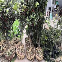 江西长叶香橙种苗价格种苗种植香橙图片