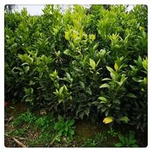 广东长叶香橙批发种苗种植香橙图片