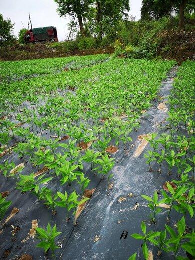廣西長葉香橙種苗價格種苗種植