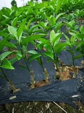 江津长叶香橙种苗种苗种植图片