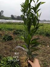 云南长叶香橙种苗种植香橙图片