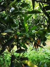 湖北长叶香橙种植技术香橙种苗种植图片
