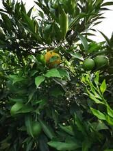 重庆长叶香橙种植香橙种苗种植图片