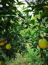 江苏长叶香橙芽穗报价种苗种植图片