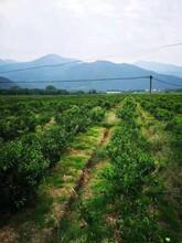 銀豐園藝香橙,阜陽長葉香橙果苗供應圖片
