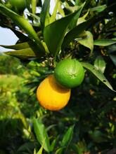 广东长叶香橙芽穗批发价格种苗种植图片