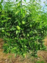 贵州长叶香橙哪家好香橙种苗种植图片
