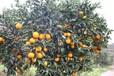 合肥长叶香橙供货商