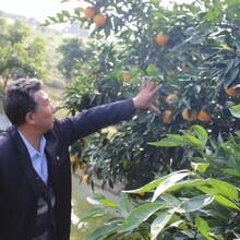 衡水長葉香橙種植基地圖片