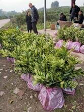 石家庄长叶香橙种植技术图片
