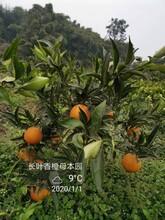 滁州長葉香橙種植技術圖片